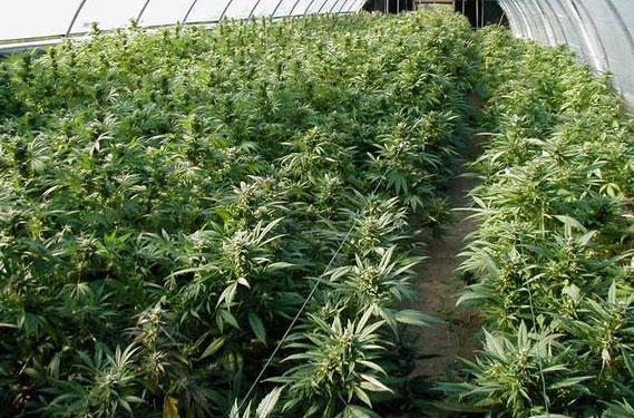 suedia-legalizeaza-marijuana-ca-medicament-1
