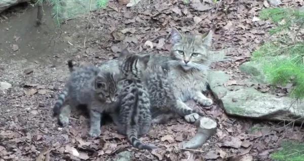 pisica-salbatica-600x319