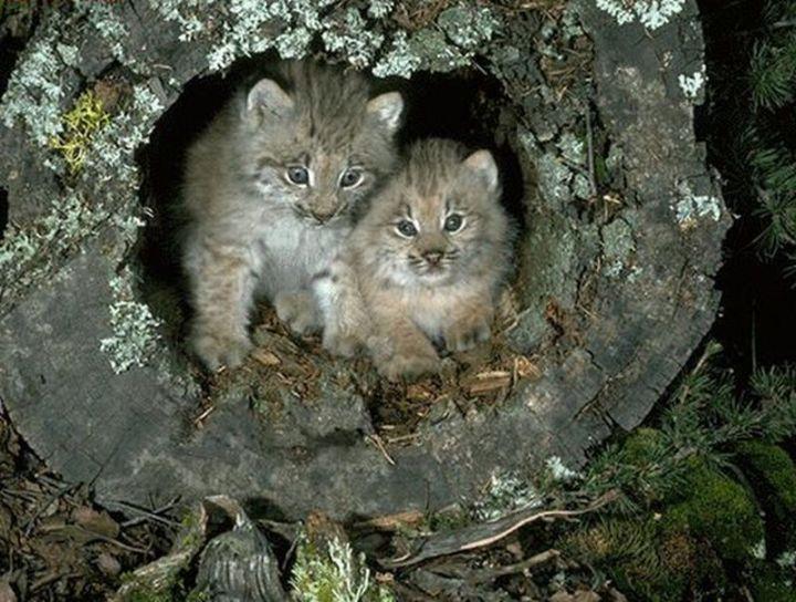 pisici_salbatice